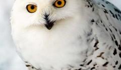 Белоснежная полярная сова