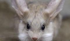 Тушканчик с длинными ушами и длинным хвостом