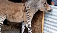 Гибрид зебры и осла — зонки в зоопарке