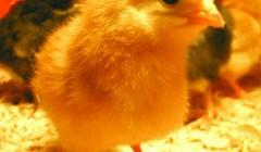 Песня цыпленок ПИ