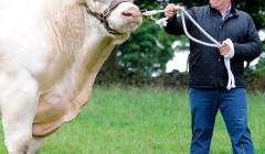 Самый большой бык Британии размером с гиппопотама