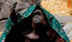 Орангунтангша Сандра «освобождена из-под стражи»