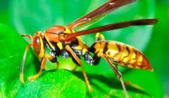 Яд бразильской осы убивает раковые клетки, сохраняя здоровые