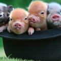 micro_pigs