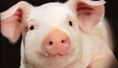 Геномный редактор делает возможным пересадку органов свиней человеку