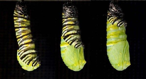 В таком виде гусеница превращается в бабочку и может провисеть так несколько дней, а может и 3 года в зависимости от влажности, климата и особи бабочки.