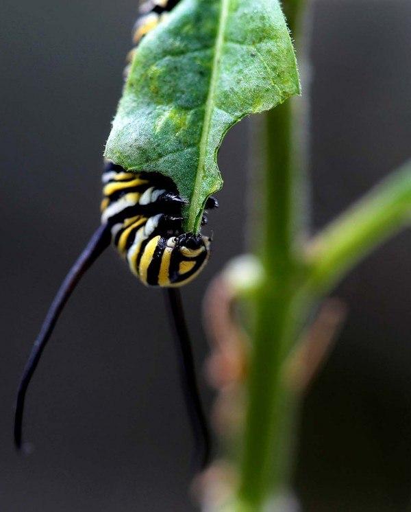 Из яйца вылупляется гусеница, в первых минут своего рождения она начинает пожирать все.