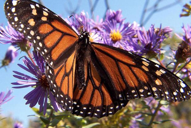 Как только бабочка сформировалась она летит искать себе партнера.