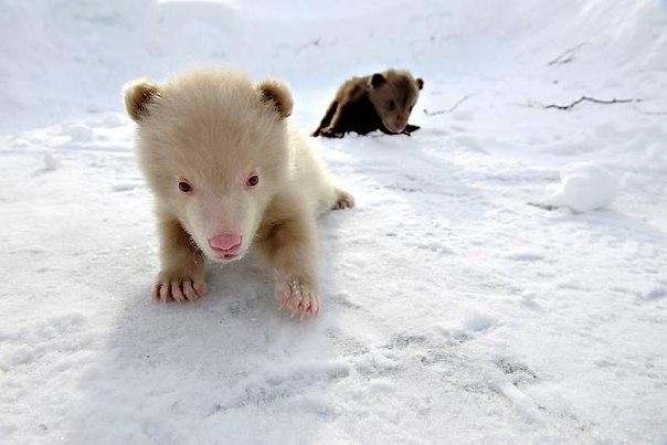 В зоопарке Polar Zoo, который находиться в заполярном Bardu на свет появился необычный медведь
