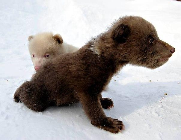 Те, кто работает в этом зоопарке были просто шокированы тем, что один из бурых медвежат оказался альбиносом.