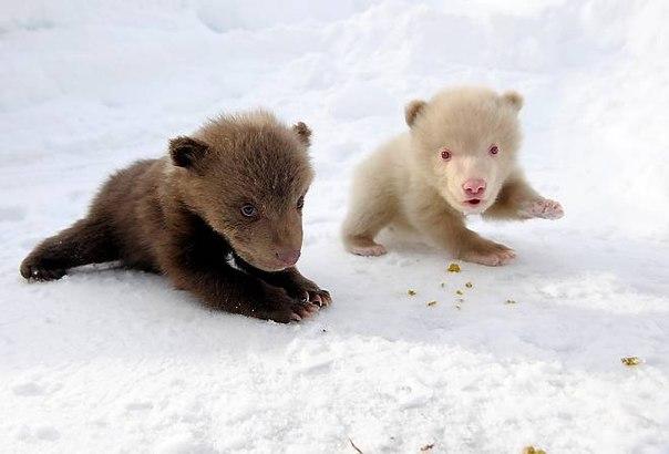Альбинос-медведь оказался не медведем, а медведицей. Девочка весит около 3-х килограмм. Она очень активная и дружелюбная.