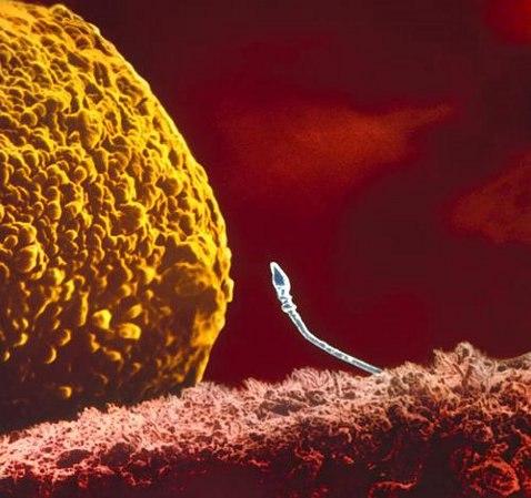 Сперматозоид встретился с яйцеклеткой.