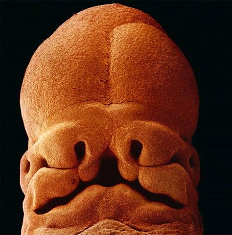 Формирование личика, пятинедельный эмбрион.