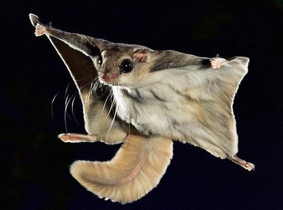 Белки - летяги