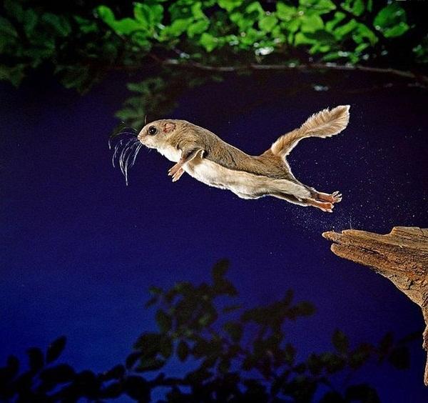 белка-летяга взбирается как можно выше, после чего прыгает и раскрывает эту самую перепонку.