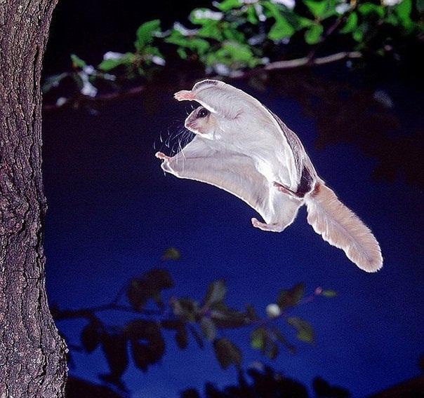 Летяги — это южные зверьки, которые относятся к семейству беличьих