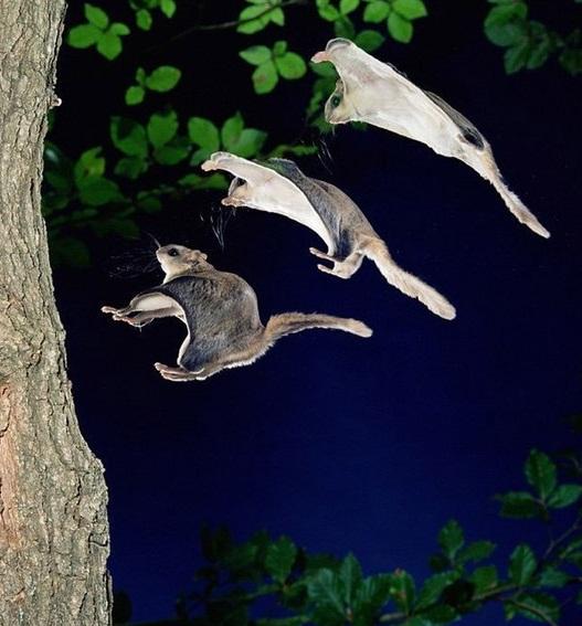 При приземлении эта белочка задирает свой хвост вверх, тем самым вызывая натяжение патагия.