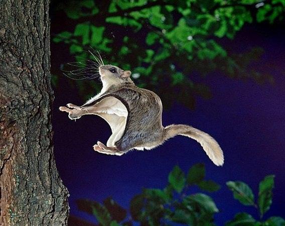 белка-летяга может преодолеть в планировании по воздуху до 80 метров.