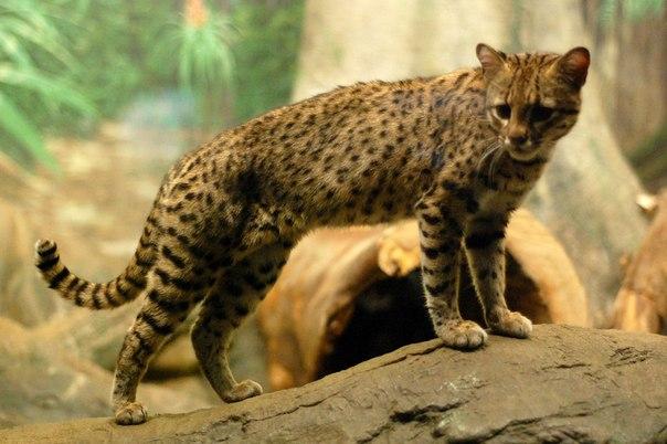 Жоффруа - южноамериканская кошка