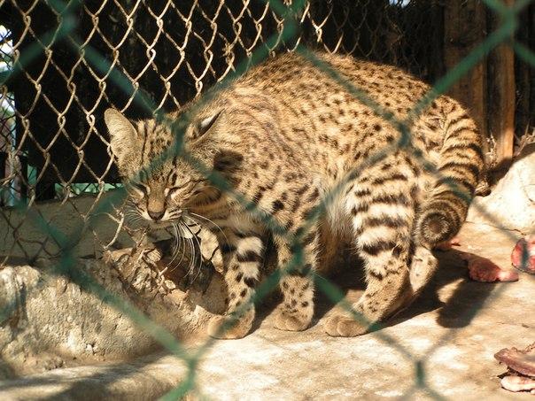 Размеры кошки Жоффруа сопоставимы с размерами домашней кошки