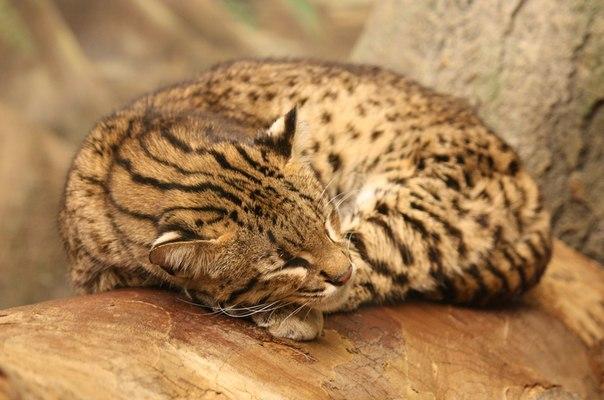 Кошка обитает в южных частях Южной Америки.