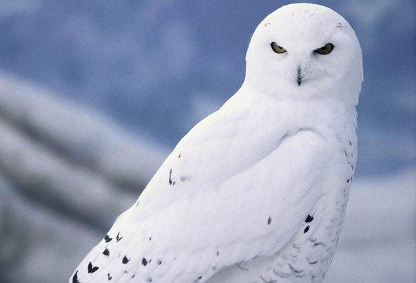 Зимой, для поиска пищи, она перелетает ближе к зонам степей и лесотундры и в лесах в это время года встречается очень редко.