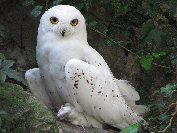 В тундре такая сова является самой крупной птицей из отряда совообразных. Радужина глаз у неё ярко-жёлтая, а голова имеет округлые формы
