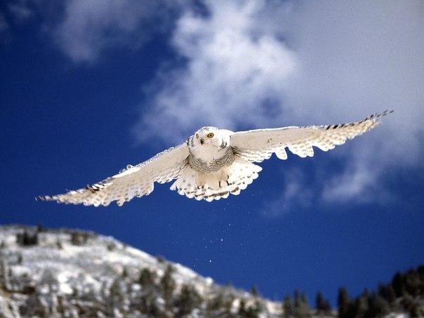 Птица эта распространена на протяжении всей тундровой зоны