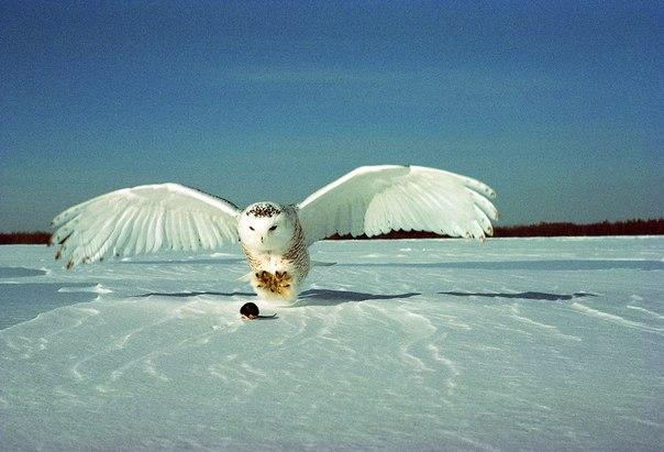 Белоснежная сова является активным хищником. Питается она мышевидными грызунами, такими как лемминги.