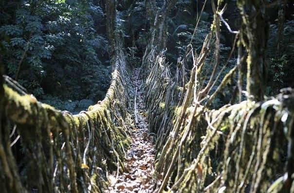 Эти корни, которые вырастали из основного ствола, направляли в пальмовый ствол, которой предварительно выдалбливали изнутри.