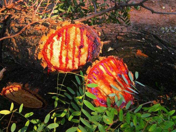 Кровоточащее дерево Южной Африки