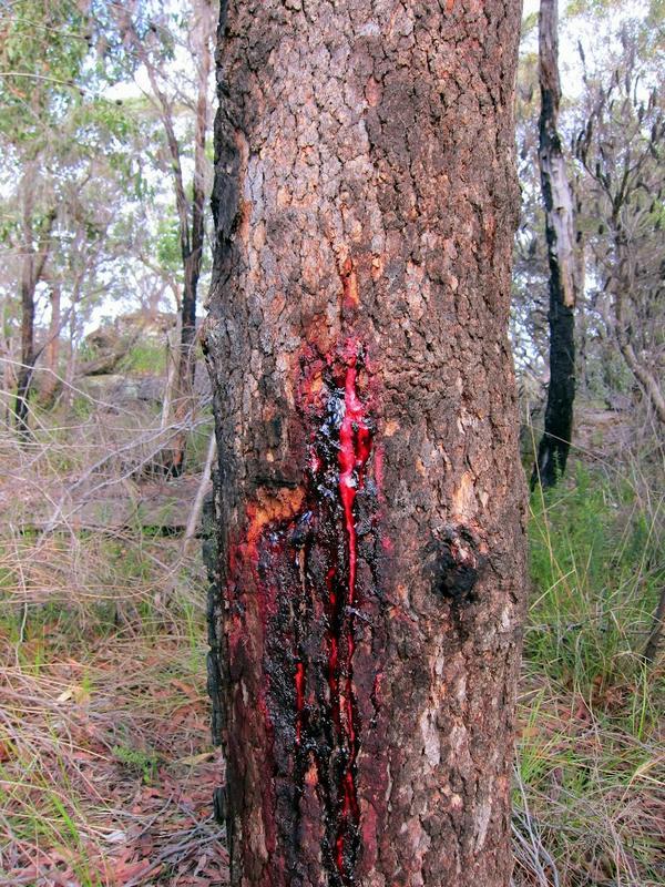 Ароматические масла из него добывают только если дерево старше 30 лет