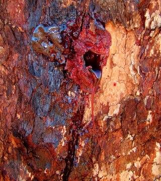 Если надрезать кору кровавого дерева, то через некоторое время из ствола дерева начинает сочиться вещество, похожее на смолу