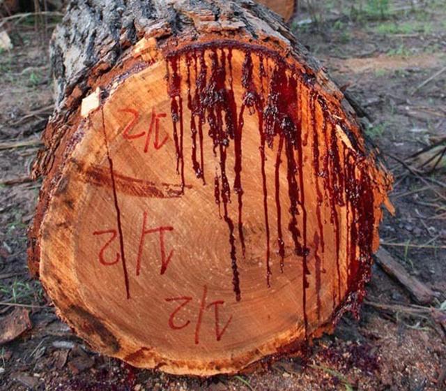 Плоды кровоточащего дерева в летние месяцы, когда они созревают, взрываются благодаря созреванию и нагреву от солнечных лучей