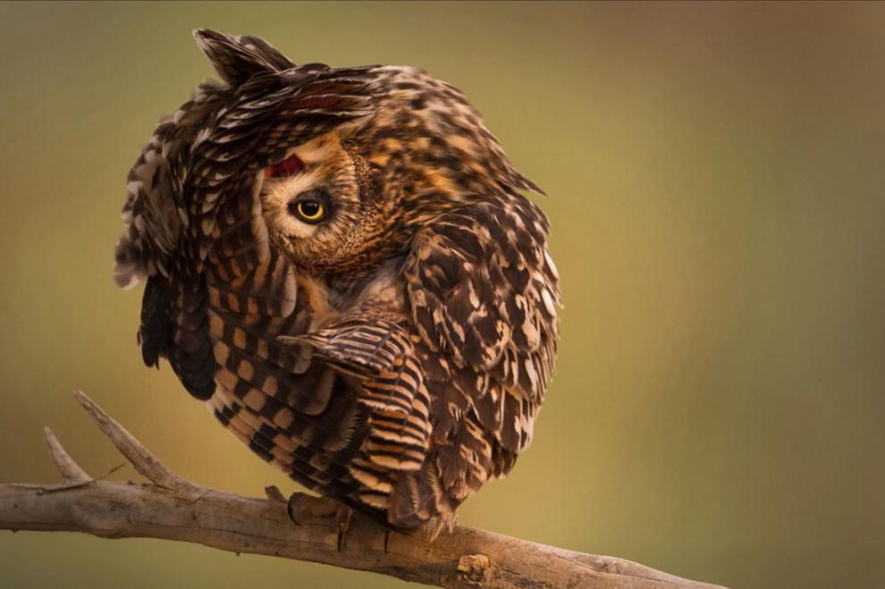 увейт. Фотография болотной совы из природного заповедника. Автор —Mohd Khorshid.