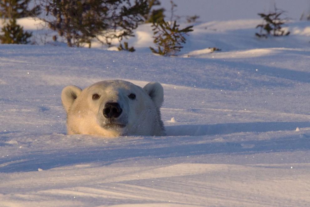 На фотографии запечатлена белая медведица, которая выглядывает из берлоги.