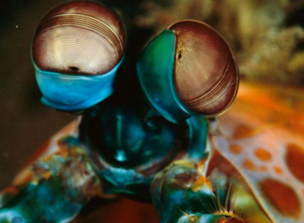 у рака-богомола могут вращаться клетки глаза