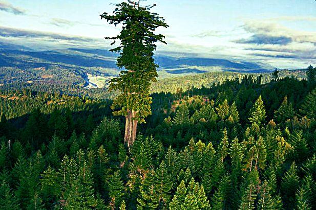Максимальная высота секвойи вечнозелёной