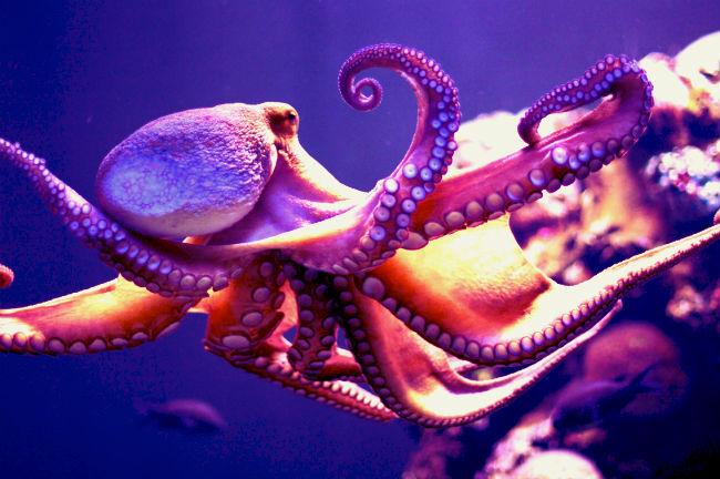 осьминог гигант
