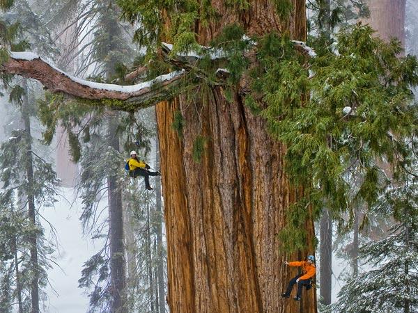 «Гиперион» — секвойя вечнозелёная с максимальной высотой, которая составляет 115,6 метров и это высочайшее дерево на Земле.