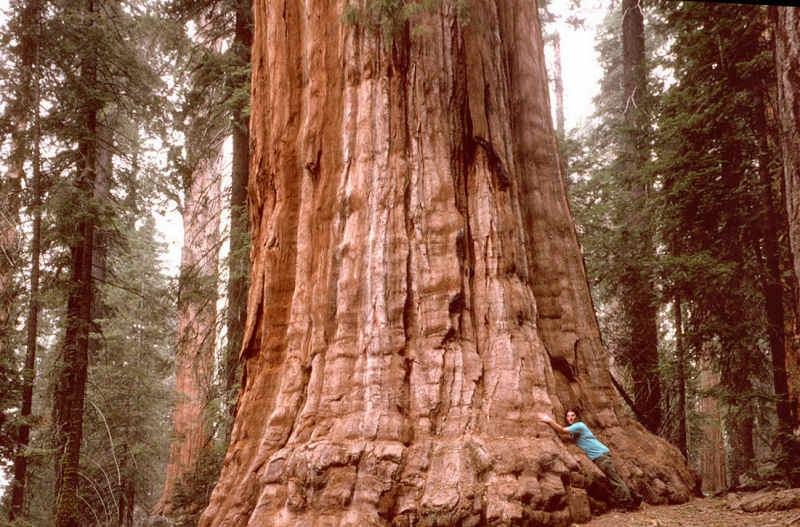 Полюбоваться им можно, посетив национальный парк «Редвуд», находящийся в США на севере Калифорнии.