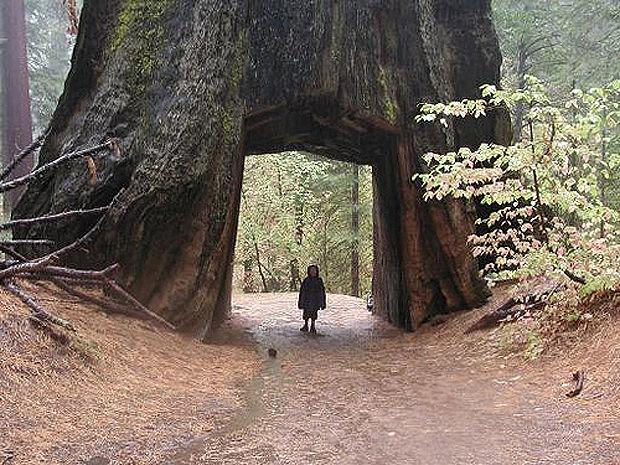 Ориентировочный возраст гиганта — около 800 лет.