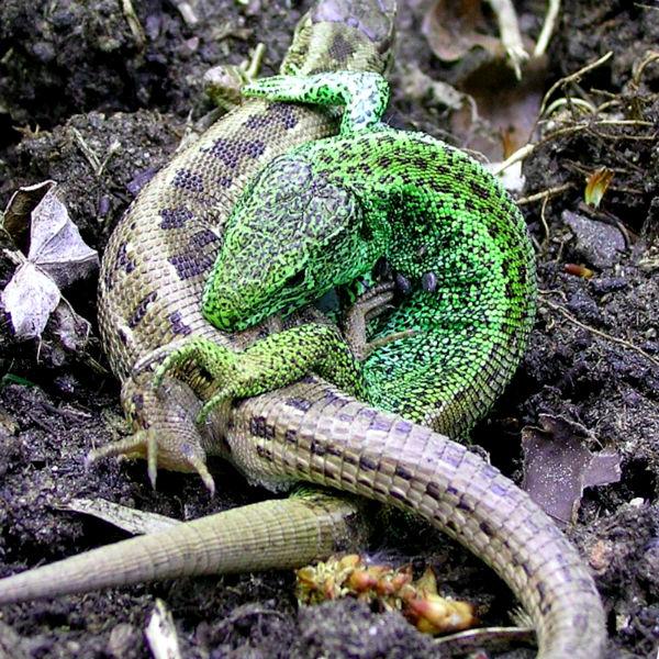 самки светлее самцов и раскрашены они в блеклые цвета