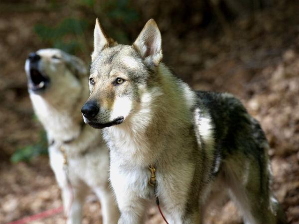 В Норвегии категорически запрещены волчьи собаки — это одна из пород, полученная путём скрещивания волков и домашних псов.