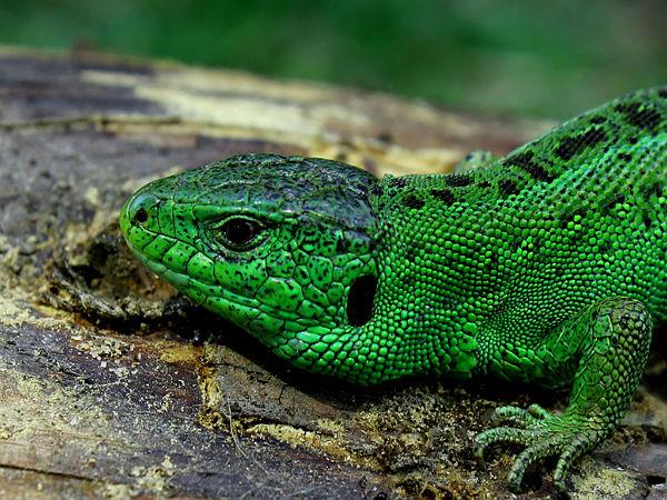 Средняя длина тельца ящериц доходит до 25 сантиметров, но можно встретить особо длинные экземпляры до 35 сантиметров