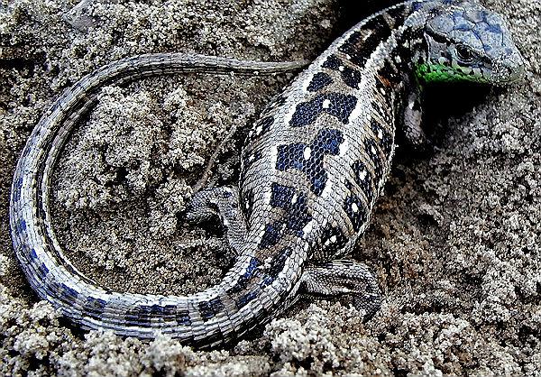 Раскрас обыкновенных ящериц знакомый многим — спина покрыта полосками, а низ живота имеет светлую окраску