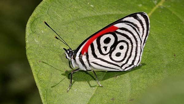 бабочка Callicore