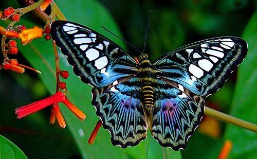 Синий Clipper бабочка Парфенос Сильвия