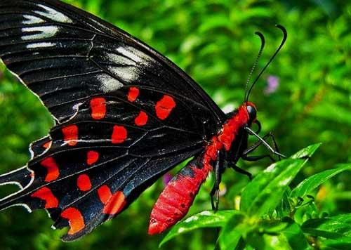 Бабочка Crimson Rose swallowtail butterfly багровая роза ласточкин хвост