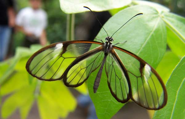 Glasswinged бабочка Грета ото